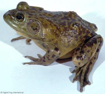 牛蛙的心脏生物绘图