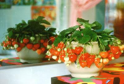 盆栽草莓有市场 - 鬼生 - 鬼生
